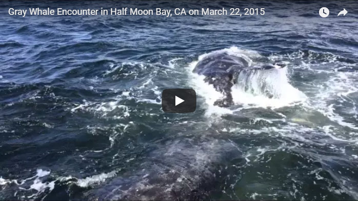 Gray Whale Encounter In Half Moon Bay, Click to Watch Video On YouTube