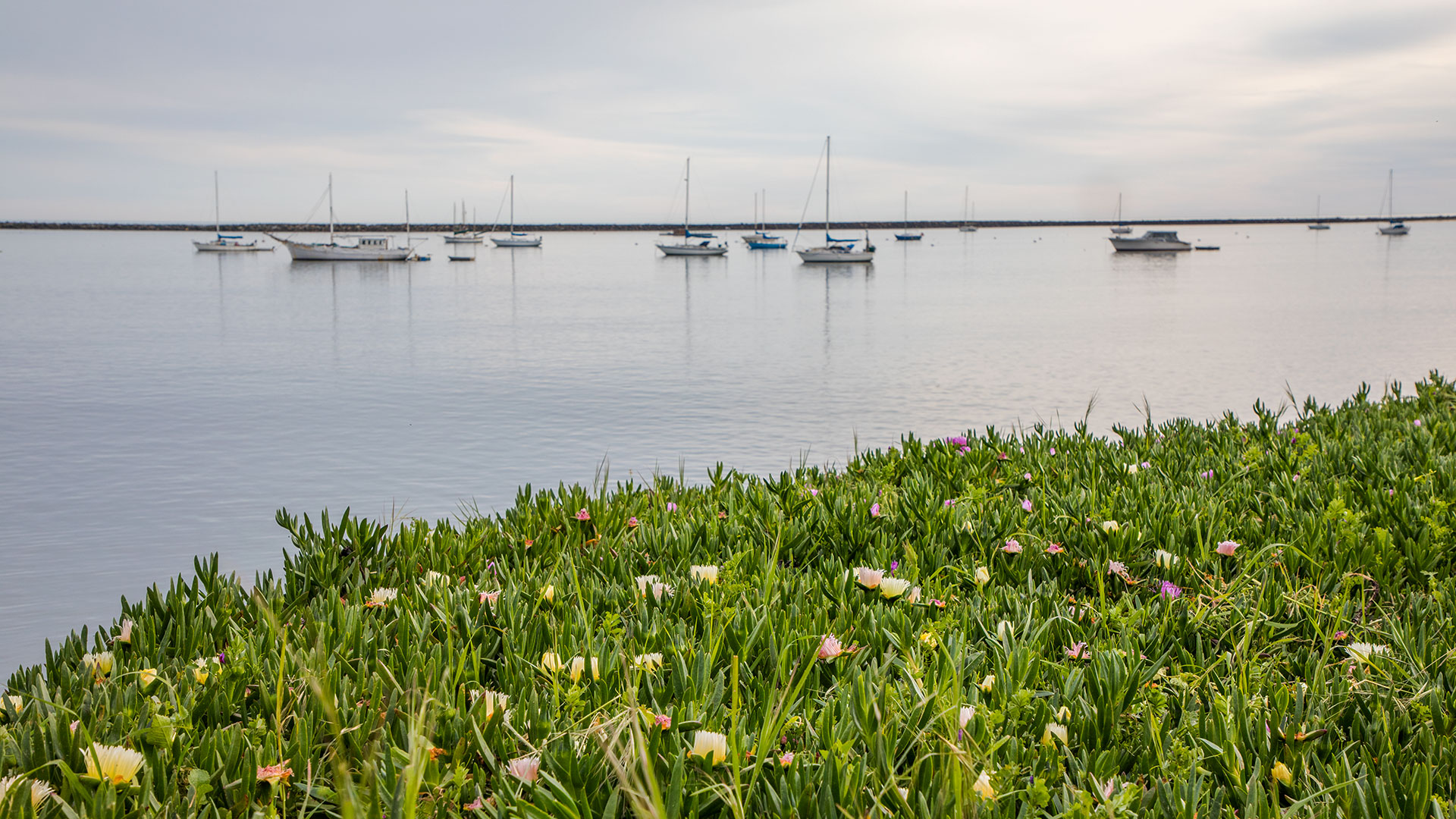 Pillar Point Harbor With Sailboats And Coastal Ice Plant