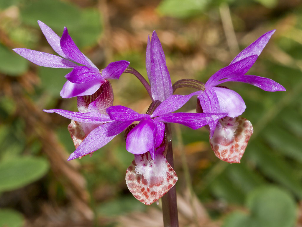 calypso bulbosa var.occidentalis orchid
